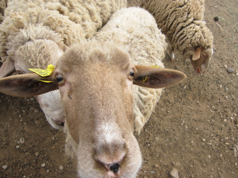 LaGrange_sheep