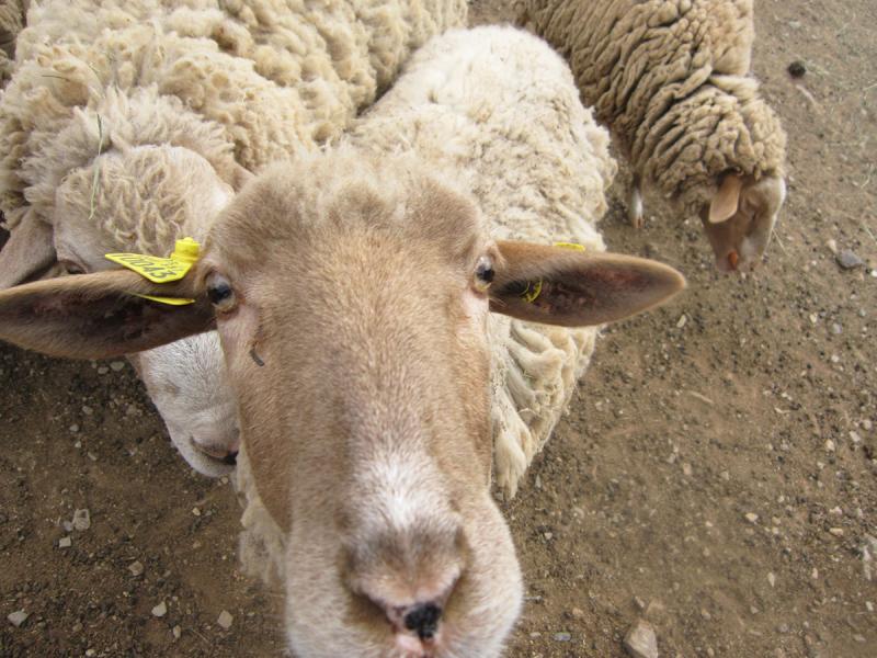 LaGrange_sheep